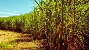 Conab abre chamada pública para comprar açúcar da agricultura familiar