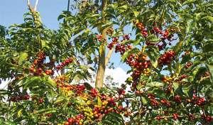 Consumo mundial no ano cafeeiro 2018/2019 atinge 164 milhões de sacas