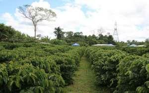 Amazonas apresenta levantamento sobre 15 clones de café conilon