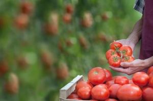 Indústria de tomate defende diminuição de defensivos na lavoura