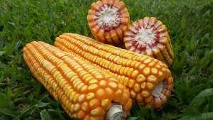 Aplicações corretas de nitrogênio garantem mais produtividade às lavouras de milho