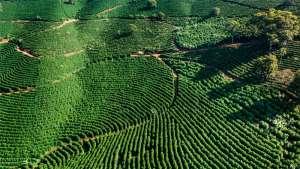 Mudanças climáticas já afetam a cafeicultura familiar