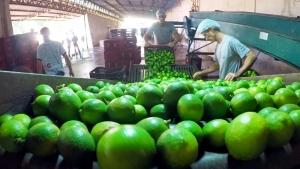 Itajobi se destaca pela produção e exportação de limão taiti