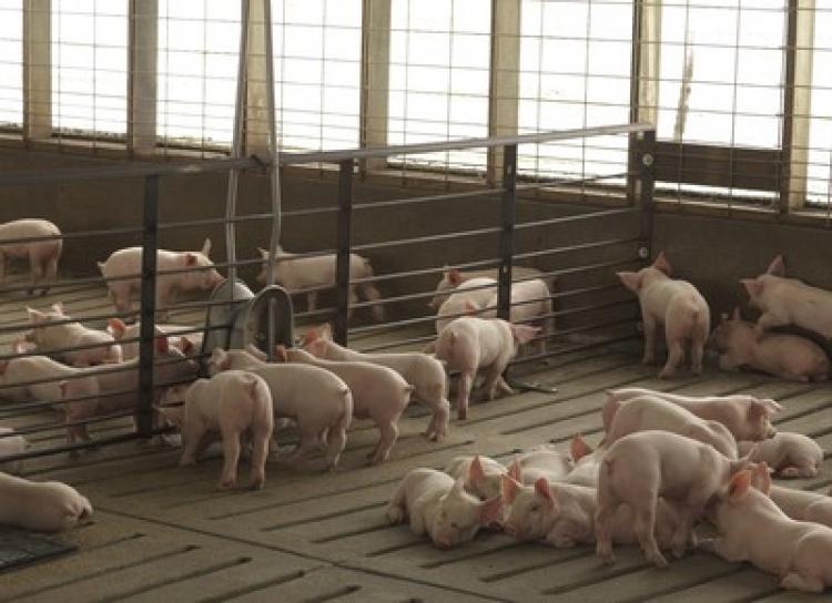 China confirma novo caso de peste suína africana