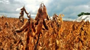 Soja: USDA reduz estoques finais dos EUA e aumenta safra do Brasil