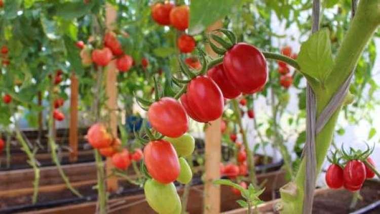 Proteína ajudou no aumento do tamanho do tomate