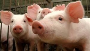 Alta nos preços do suíno vivo nos estados e queda nos insumos