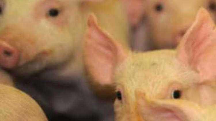 China incentiva empresas a criar porcos no exterior para suprir escassez de carne suína doméstica