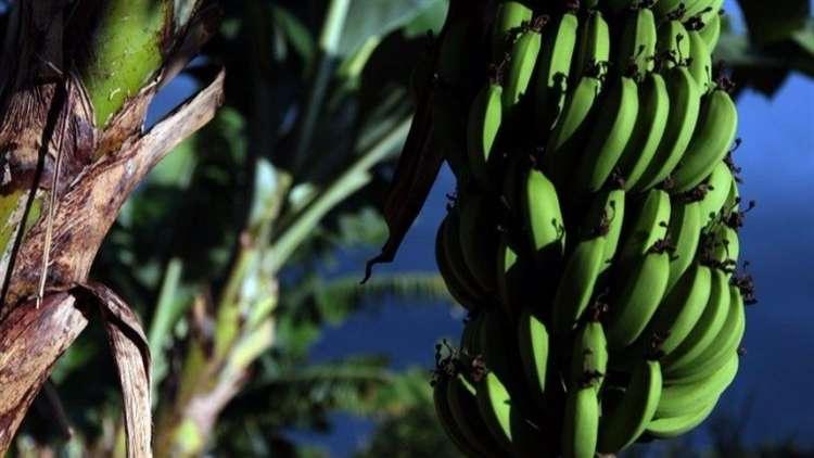 Lodo de esgoto combate doença na bananeira