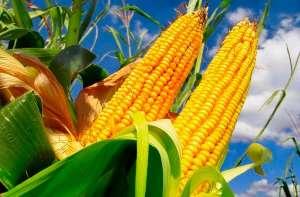 Brasil pode superar EUA na exportação de milho