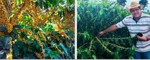 Vantagem econômica no uso de variedades de café resistentes e produtivas
