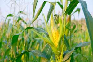 Embrapa amplia oferta de produtos biológicos para controle da principal praga do milho