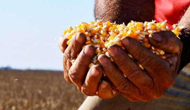 Gastos com sementes de milho chegam a 20% do custo total da lavoura