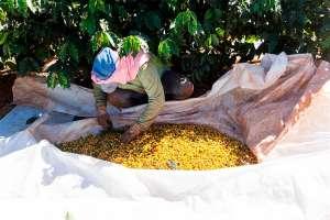 Cultivar de café Arara mostra características novas na região de Araxá