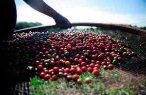 Queda dos preços do café preocupa produtores, apesar do crescimento das exportações