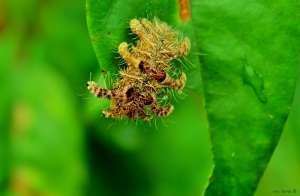 Lagarta aranha provoca raspagem de folhas do cafeeiro