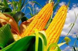 Brasil exporta 40 milhões de toneladas de milho e atinge novo recorde
