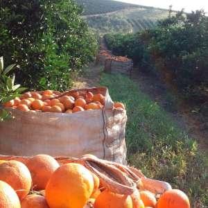 Sul/Sudoeste paulista justificam investimentos em suco de laranja, apesar do mercado fraco