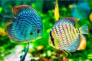 Peixes ornamentais movimentam economia no norte do Amazonas