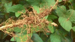Cientistas sequenciarão genoma do nematoide da soja