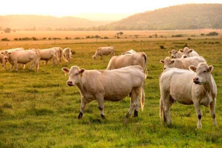 CNA estima aumento de 7,20% no VBP da pecuária em 2019