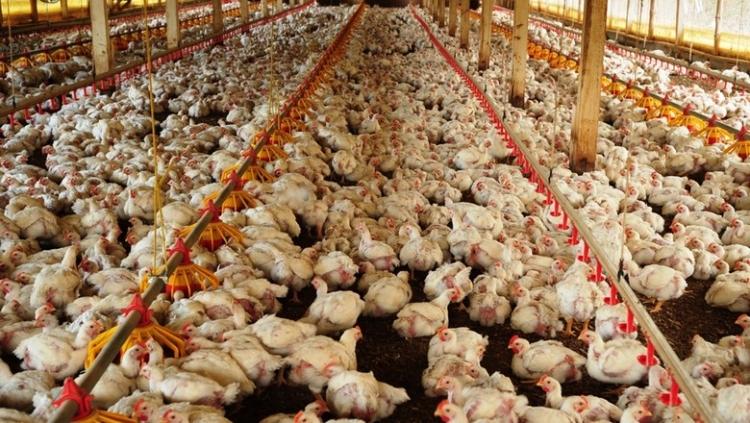 EUA: Sanderson Farms vai eliminar uso de antibióticos em frangos