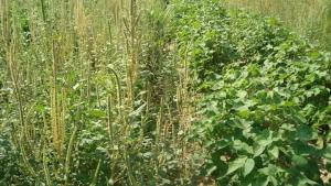 Resistência a herbicidas reforça alerta sobre Amaranthus palmeri, diz pesquisador