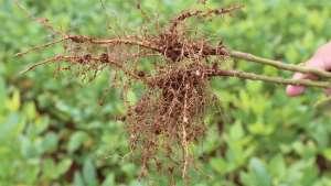 Nova opção para controle de nematoides terá registro liberado