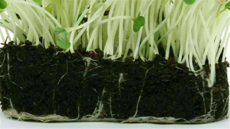 Plantas parasitas usam genes roubados
