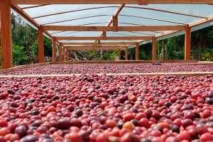 IBGE prevê colheita de 56,4 milhões de sacas de café em 2020