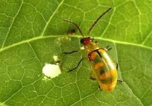 Agrivalle registra nova formulação de controle biológico com Beauveria bassiana