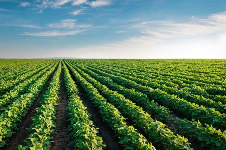 Produção de soja gera renda e melhoria no solo para renovação de canaviais