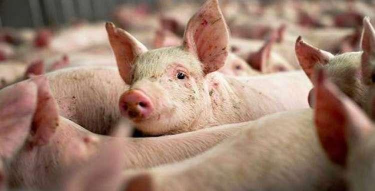 CRISPR imuniza porcos contra doença mortal