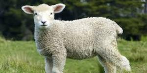 Ovelhas podem ser alternativas a herbicidas nas vinhas