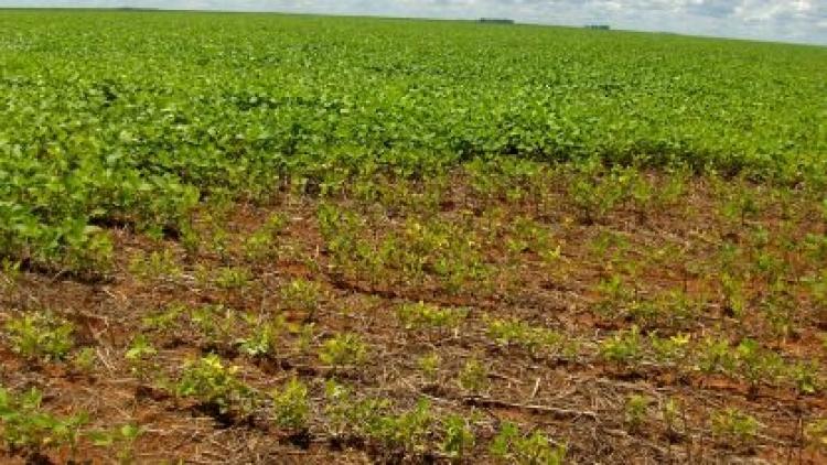 Parceria brasileira e israelense irá desenvolver soja resistente a nematoides por edição gênica