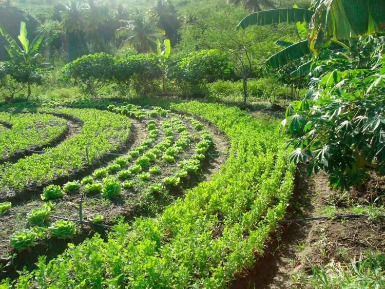 Sistemas agroflorestais são benéficos ao meio ambiente