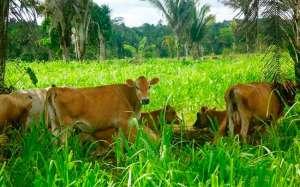 Sistema silvipastoril: produtividade aliada ao bem-estar animal