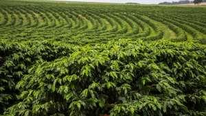 Chuva pode atrapalhar colheita de café em algumas regiões