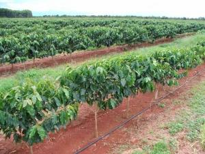 Utilização da água magnetizada para a irrigação por gotejamento do cafeeiro