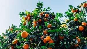 Safra 2019/20 de laranja deve crescer 36% em São Paulo e Minas