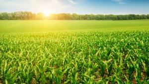 Safra de milho receberá até 50 milímetros de chuva nos próximos dias