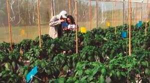 Produção integrada de pimentão reduz os custos com defensivos em até 30%