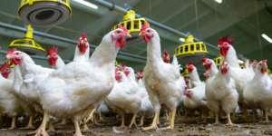 Frango: maior preço nas granjas dos últimos 12 meses