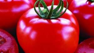 Gene do tomate pode acelerar produção de outras culturas