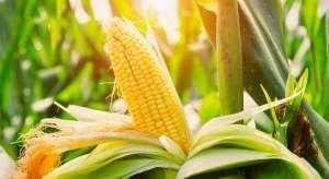 USDA confirma expectativas e reduz todos os números da safra 2019/20 de milho dos EUA