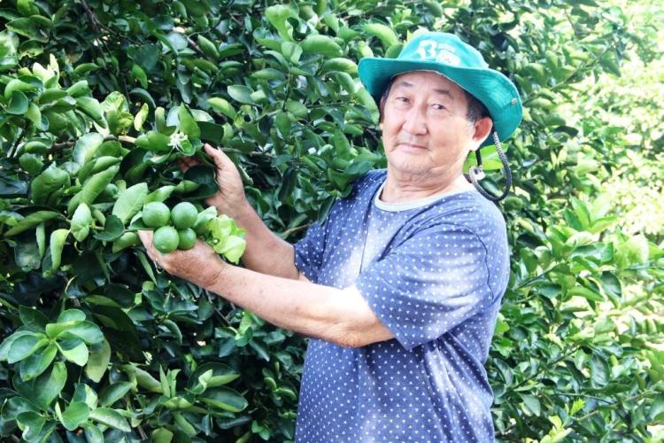 Cultivo de limão irrigado garante produção de quatro toneladas por mês