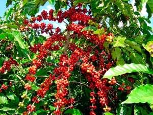 Boro e zinco: entenda a importância dos micronutrientes para o cafeeiro