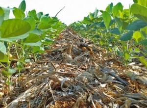 Atrás da braquiária, raiz da soja cresce 2 cm/dia e tem água pra passar o veranico