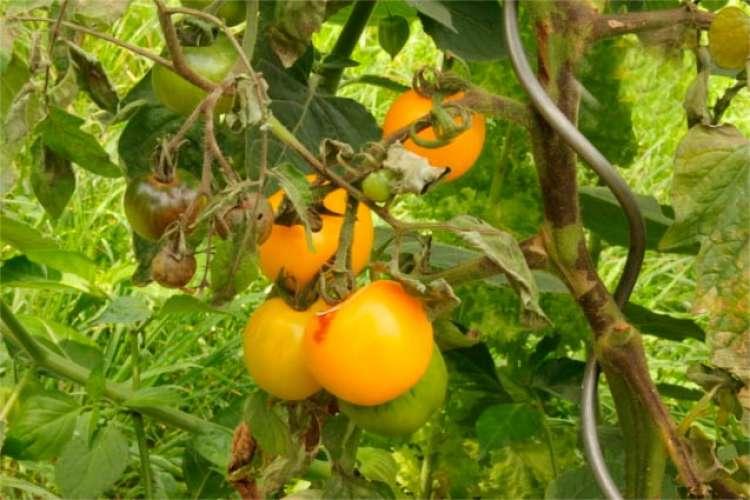 EUA sofrem com doença do tomate