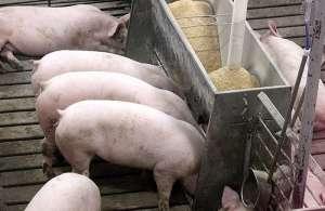 Peste suína x demanda por soja: batalha deve durar anos e impactar preços
